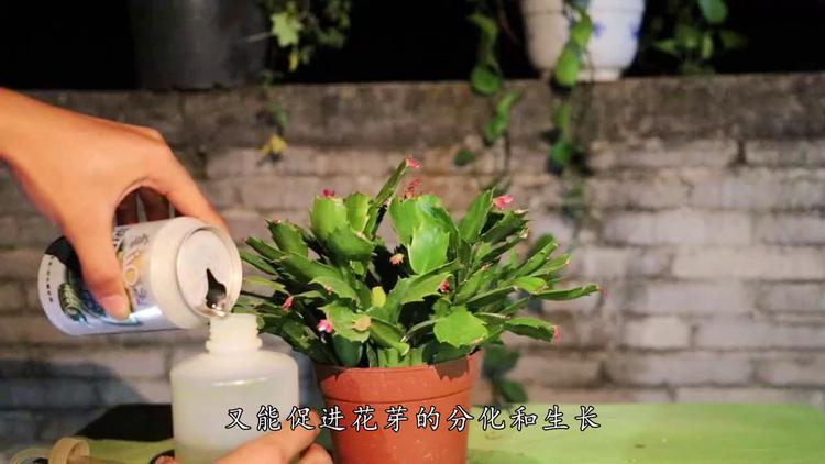 不开花的蟹爪兰不算养好,教你如何养它,让它花开满满