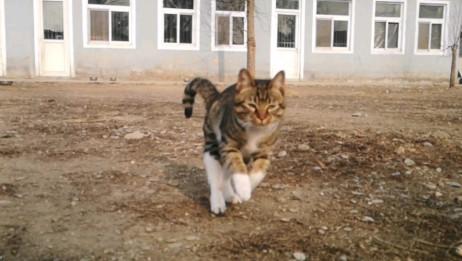 【狸花猫】王者之猫来了,我要做b站王者,淘气是我的本性!