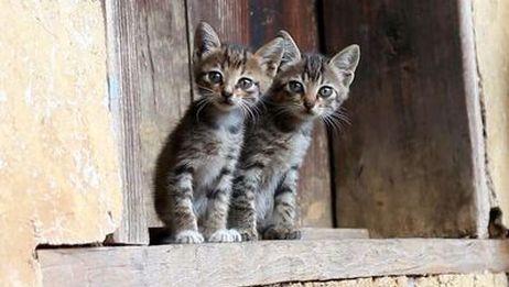 【狸花猫】俘虏了一对小可爱,不知该如何处置?