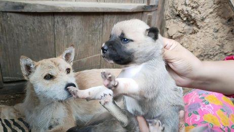 狗宝宝出生第12天,睁眼睛了,水汪汪的,一只比一只可爱
