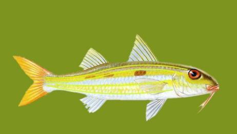 斑带拟羊鱼