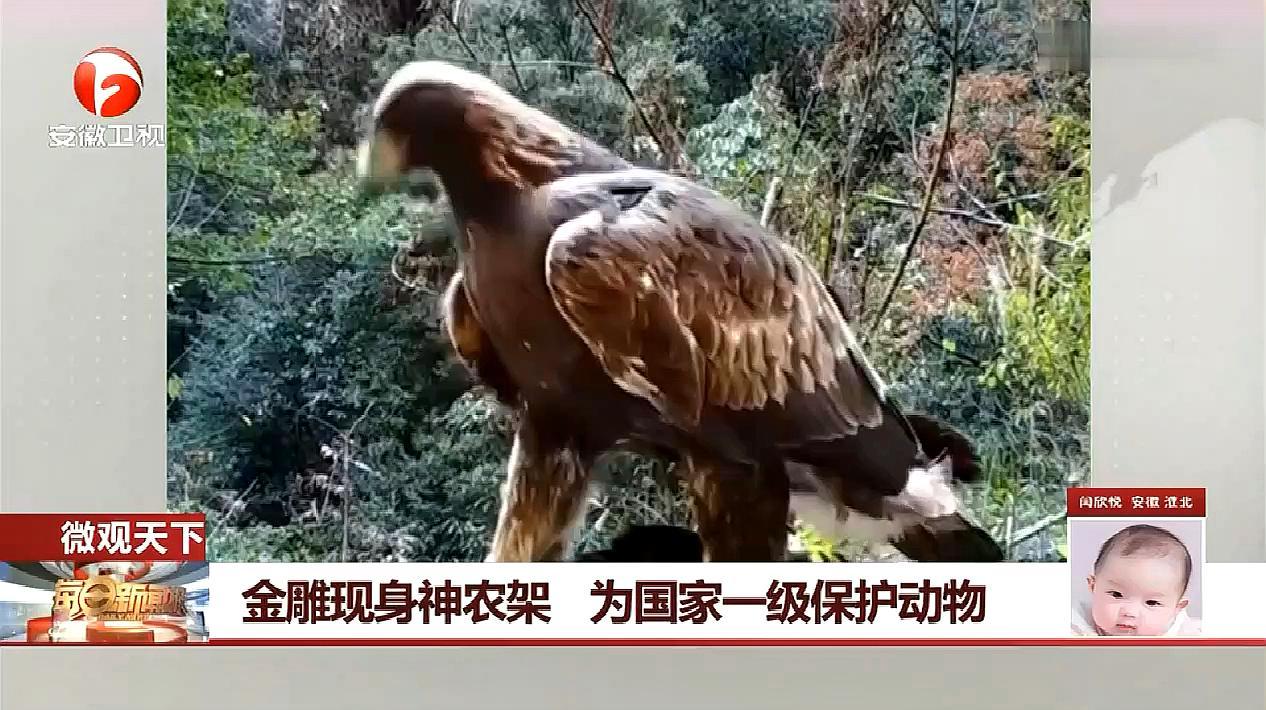 金雕现身神农架 为国家一级保护动物