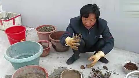 睡莲的种植