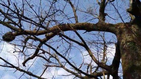 好大一株桦栎树,600多岁了,一枝独秀,直插苍穹