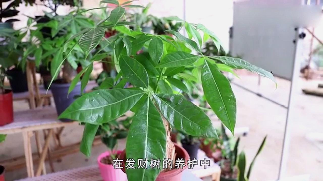 """发财树养殖过程中施肥很重要!把""""它""""埋盆里,发财树枝强叶壮"""