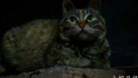 【狸花猫】这是什么绝世小可爱?我家灶台要被它爬光了!