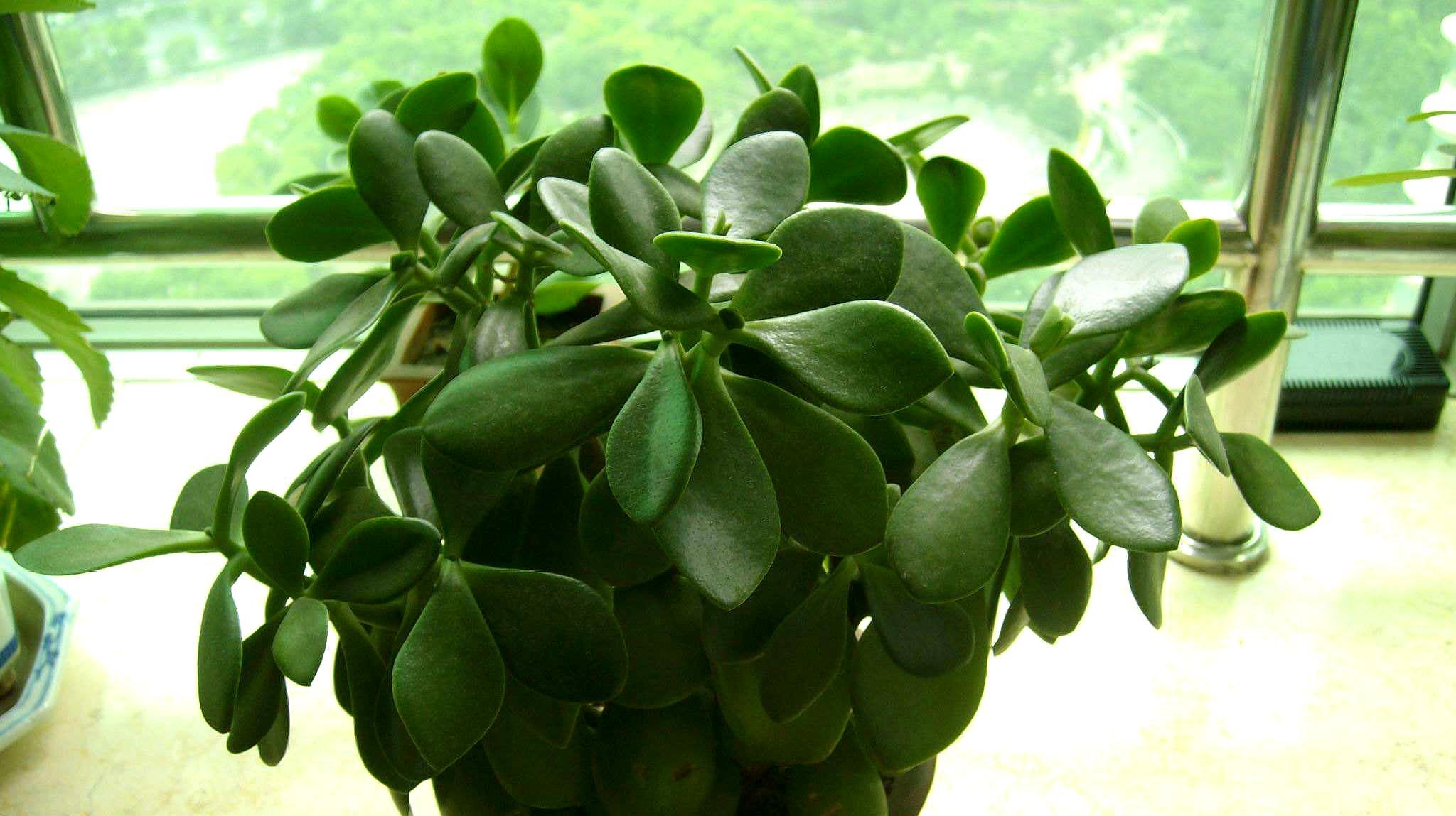 玉树到底怎么养长得快,几个玉树的养殖技巧,令玉树绿满枝头