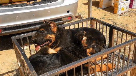 狗市上2条漂亮的德牧小狗,要价3000块钱一条,值这个价吗?