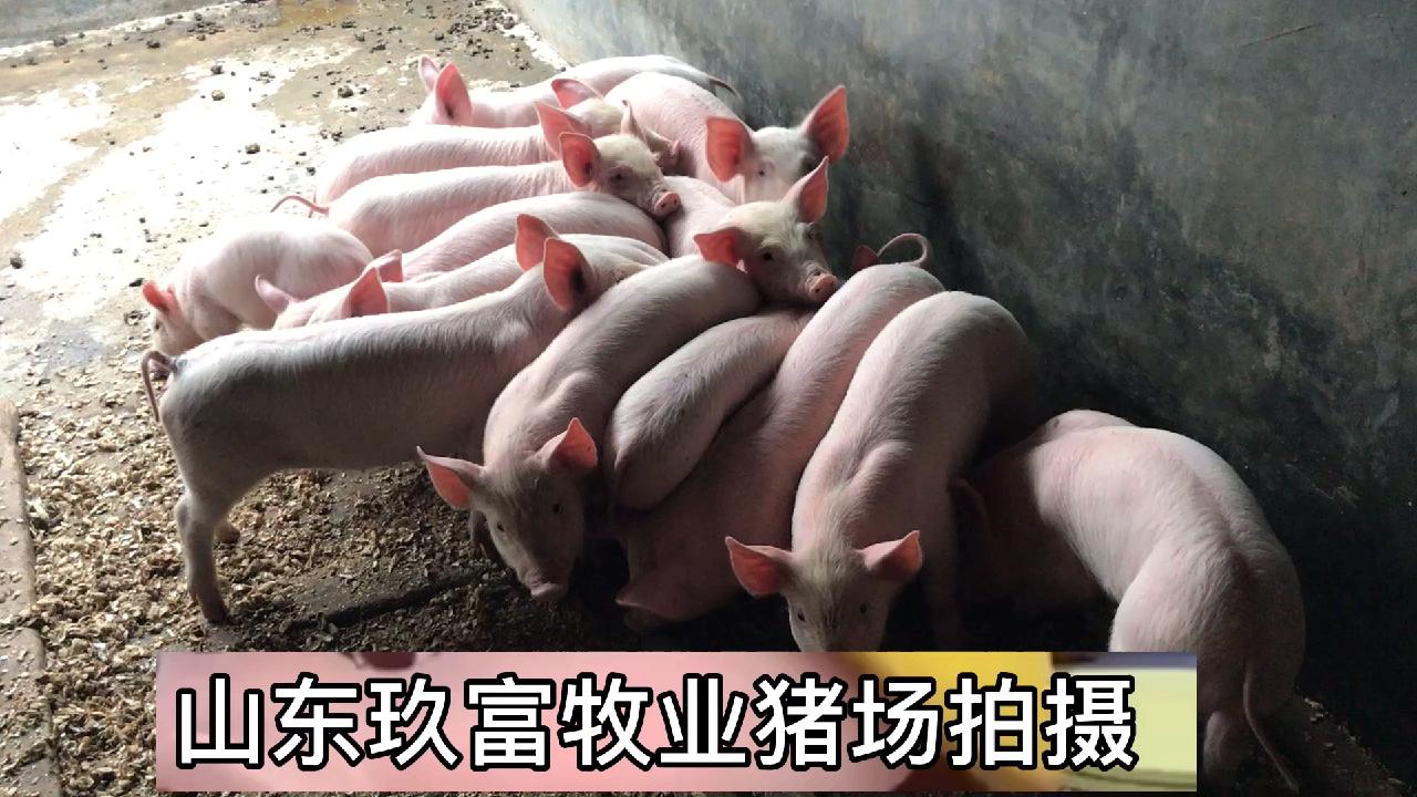 2020年2月份以后全国猪价仔猪仔猪苗价格行情分析及走势