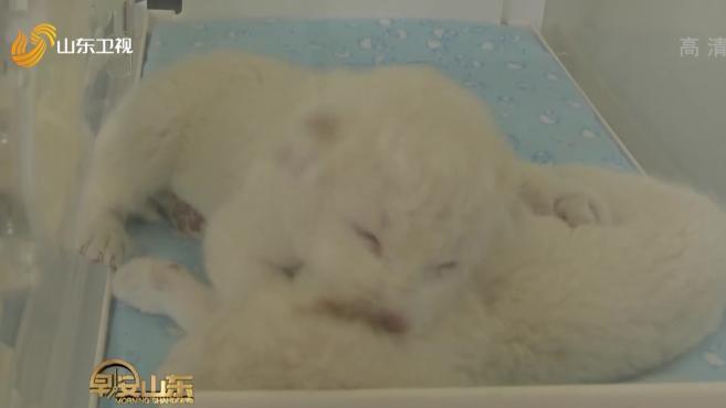 济南:双胞胎白狮出生 罕见又可爱