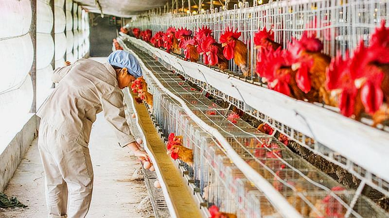 """为什么养殖场鸡""""几天""""就能养肥,带你走进养鸡场,看完涨知识了"""