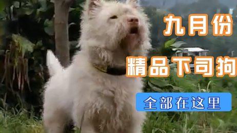 世界名犬贵州下司狗即将变成人们的餐中肉!难得猎狗再无用武之地