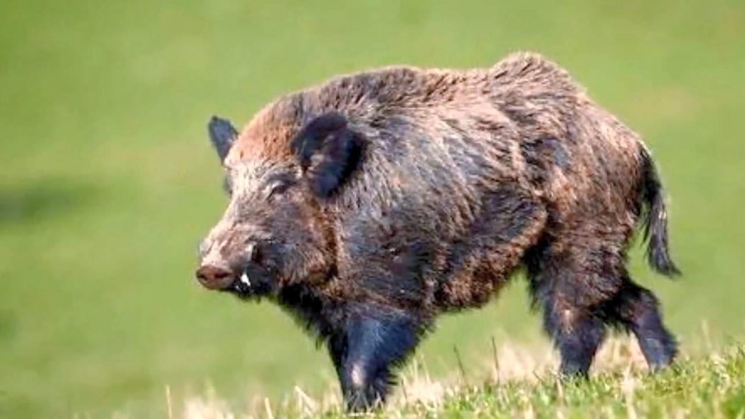 意大利野猪泛滥农民很抓狂 每年损失超7亿元