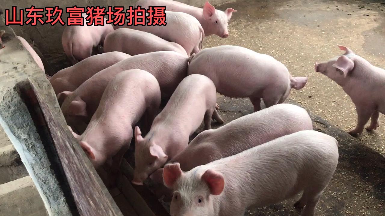 2020年后仔猪价格走势预测分析,毛猪仔猪苗价格今日猪价最新播报