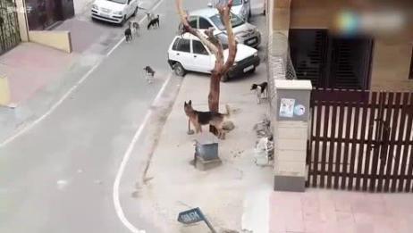 德牧单挑一群狗狗,看来德牧的战斗力非同寻常!