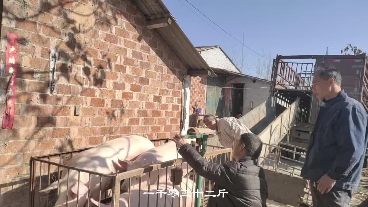 猪价再次回暖,洛阳今日猪价16.8,猪价还会涨上来吗?