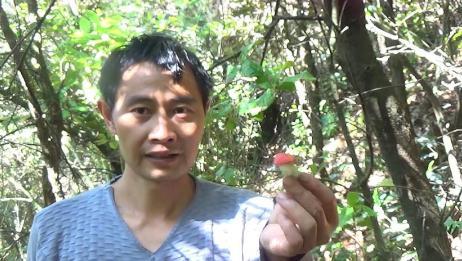 刺栎树林捡野生菌,一林一坡种类好多,菌子、兰草惊喜一个接一个