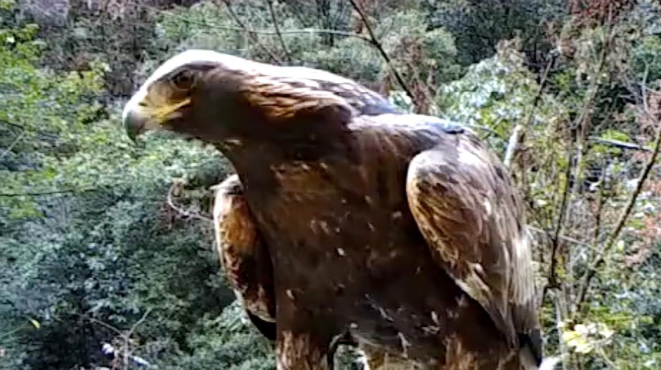 神农架惊现1.2米巨型金雕 网友:杨过的神雕?
