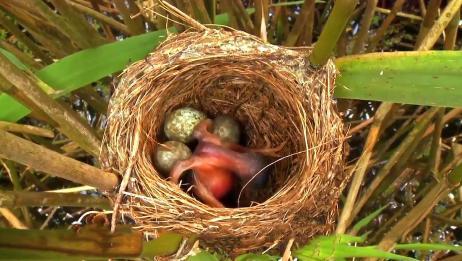 杜鹃做法太可恶,这位鸟妈妈做法太解气,网友:看清颜色再下蛋