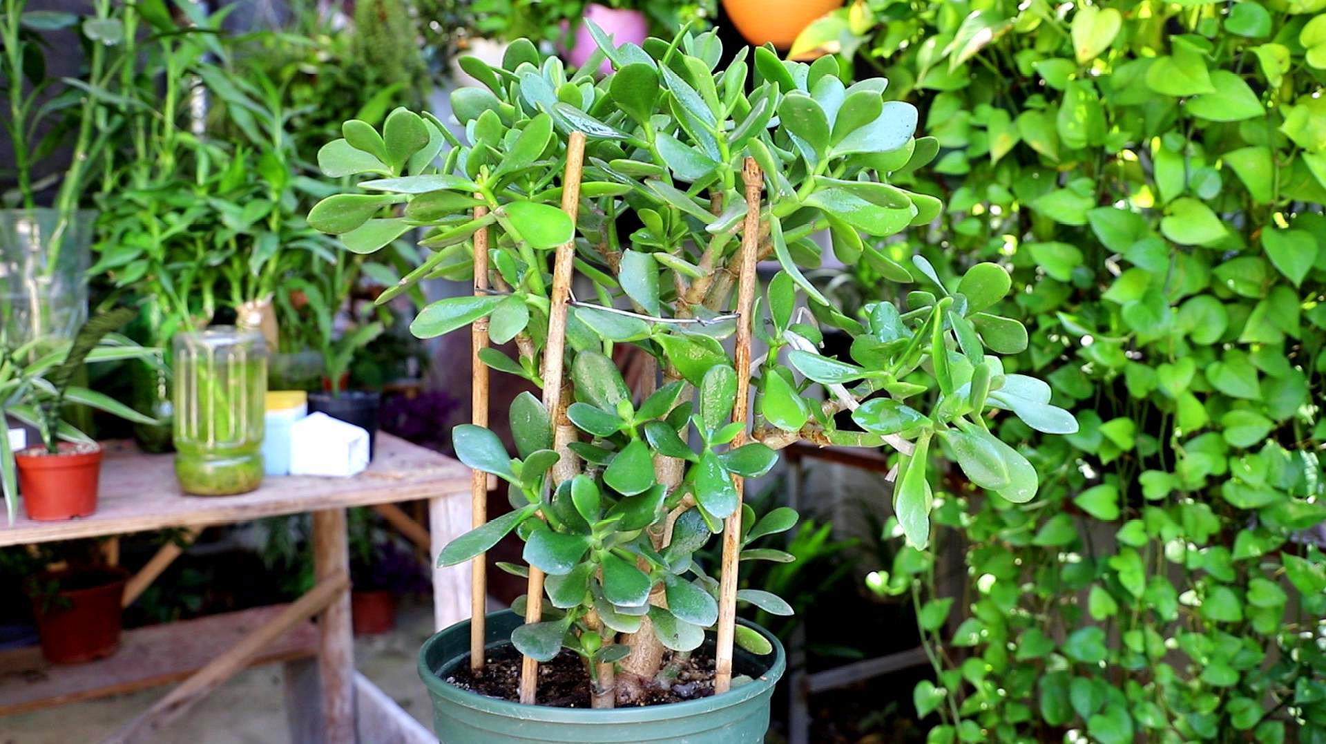 玉树到底怎么养长得快?三个养殖方法,快速养出老桩盆景
