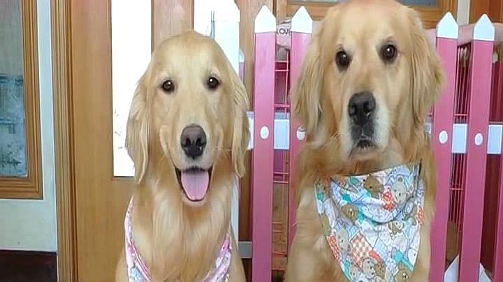 主人说只能给一只狗狗洗澡,接下来狗狗的举动太逗啦