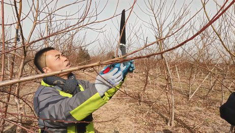 你们要的冬季桃树修剪的全过程来了