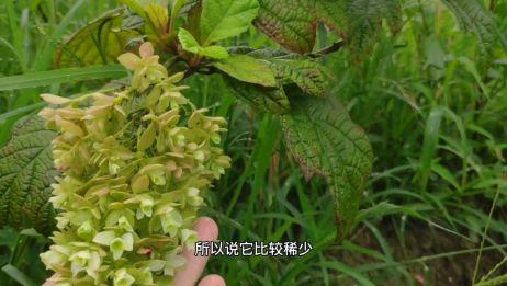 和栎树叶子一样的绣球你见过吗,却比较难繁殖,但开花多的像瀑布