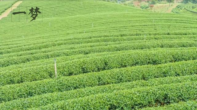 红茶和绿茶有什么区别吗?如何区分茶叶,它们有什么不一样?