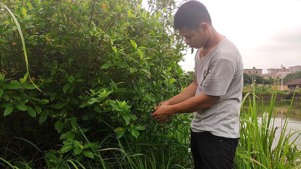 小伙上山摘黄栀子煲水给儿子喝,这种植物的作用还不少呢
