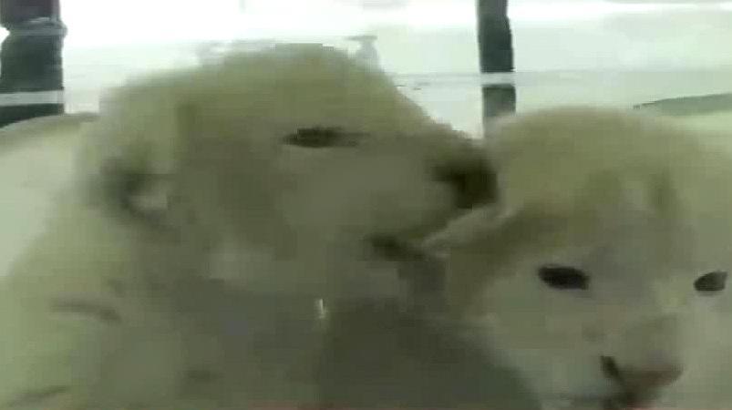 萌萌哒!济南野生动物园出生罕见双胞胎白狮
