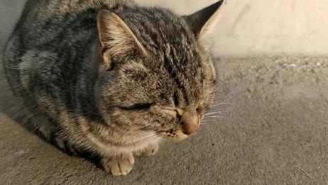 【狸花猫】可可怜怜小老喵……(我可没欺负你,你是自己困的)