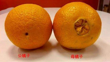 """买橘子时,要选""""母""""的才甜,看一眼底部就知道,果农的方法真棒"""