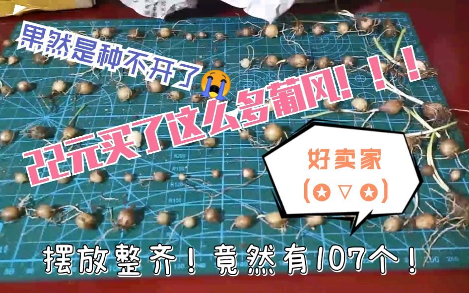 【葡萄风信子】【开箱】【种植】22元买了一百多个种球