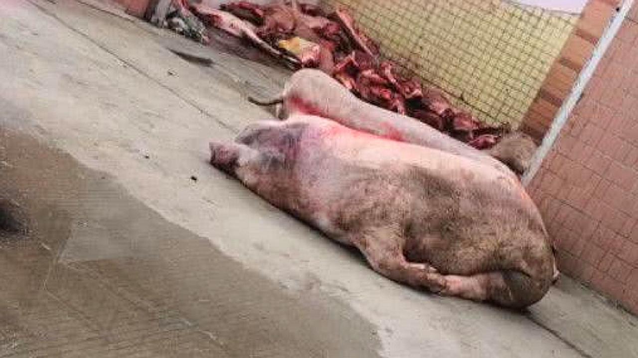"""塞钱就放行?正规肉联厂每天""""洗白""""数千斤病死猪"""
