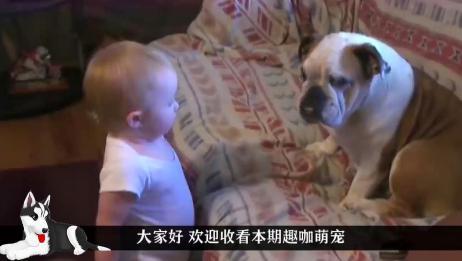 妈妈听到客厅很闹,小宝宝和斗牛犬在吵架,接下来憋住别笑!