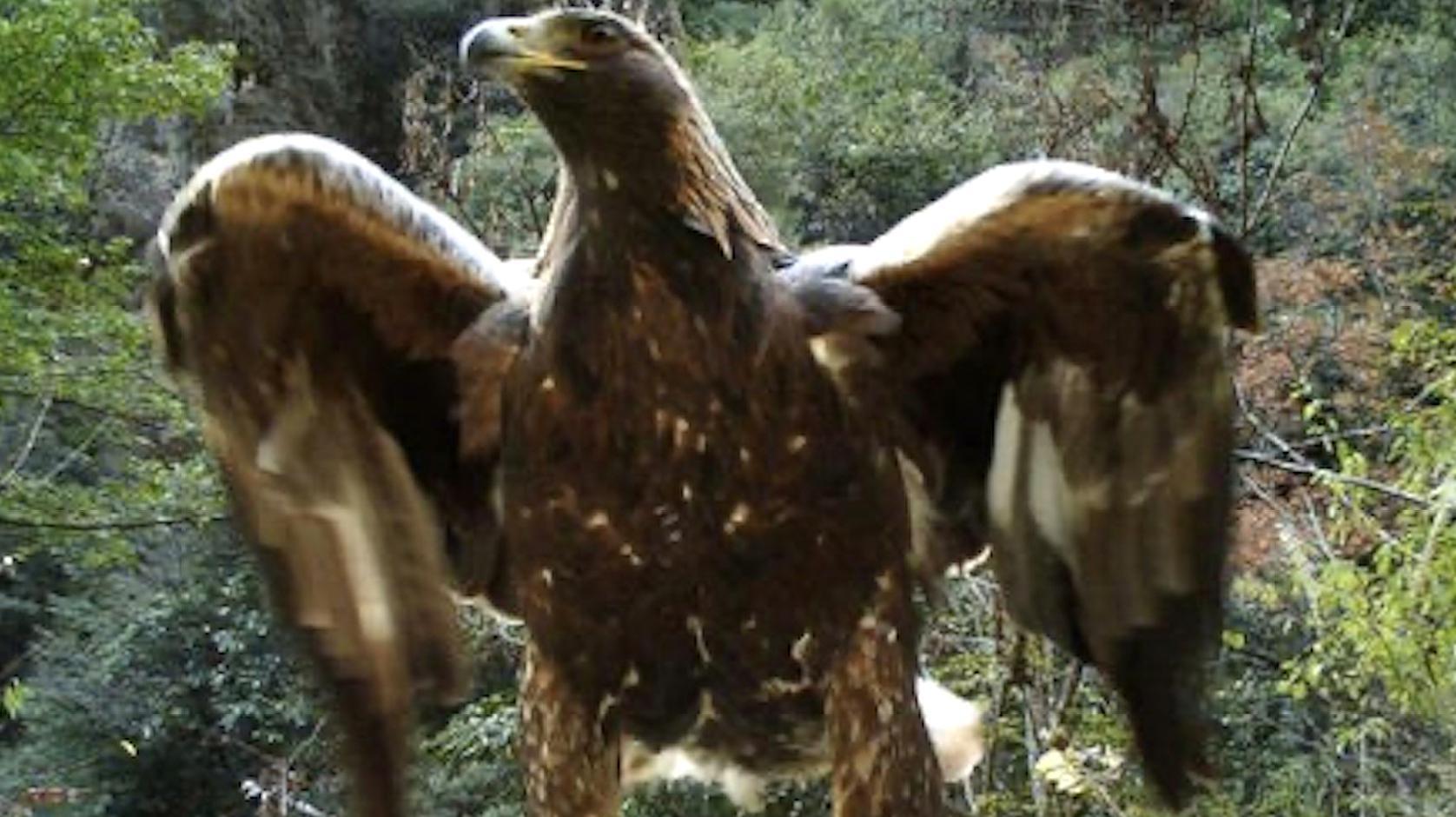 1.2米金雕现身神农架拍打翅膀猎食猪獾 网友:杨过的神雕?