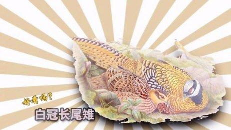 白冠长尾雉非常漂亮,但它断了尾羽,会是怎样搞笑场面呢?