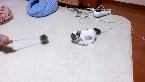 小奶猫被主人逗的晕头转向,小奶猫生气了,哄不好的那种