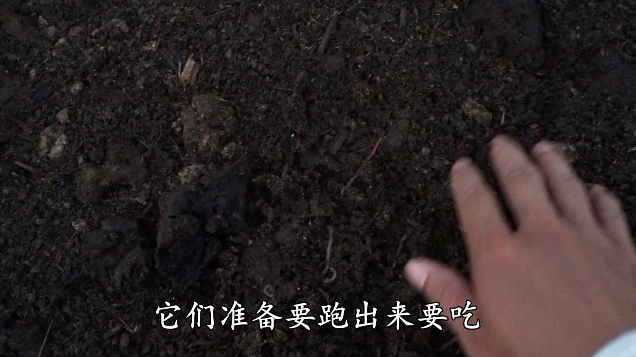 蚯蚓养殖场已经投放蚯蚓种苗几天了,一起来看看蚯蚓的生长情况吧