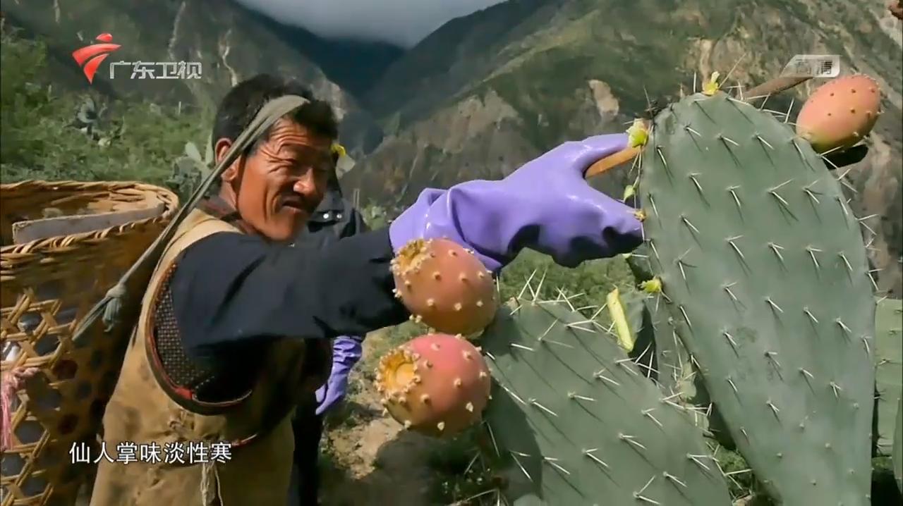 仙人掌简直是仙果,不仅行气活血,还能生肌