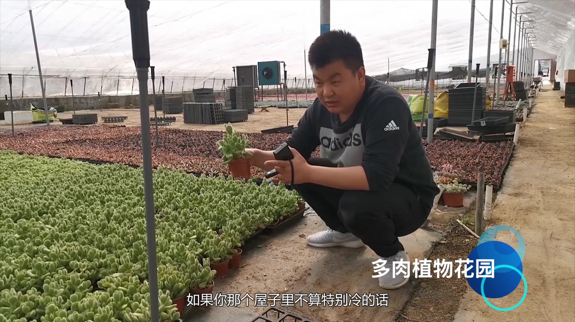 多肉植物是这样叶插的你学会了吗