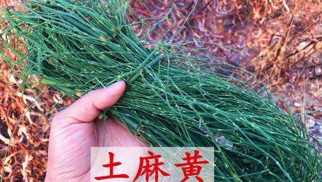 """这种植物叫节节草人称""""土麻黄"""",南北方均有分布,快来认识吧"""