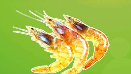 原来加利福尼亚淡水虾长这样