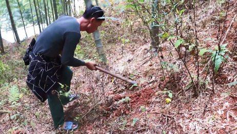 农村小伙上山挖冬笋,竹笋虽小个挖了不少,挖笋技术真佩服