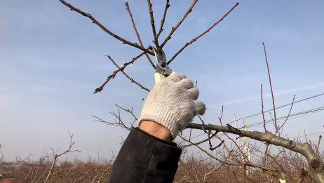 没有夏管的桃树,如何冬季修剪一次到位,桃树管理高手现场分享
