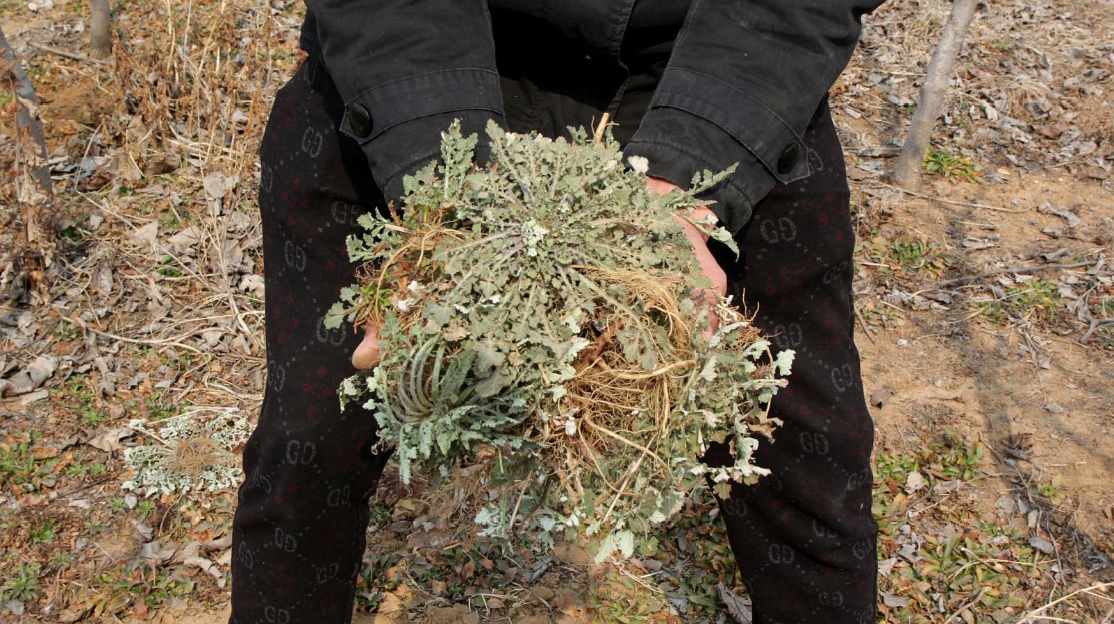 农村小伙野外挖一种野菜,可以治痔漏,一会儿工夫挖了这么多