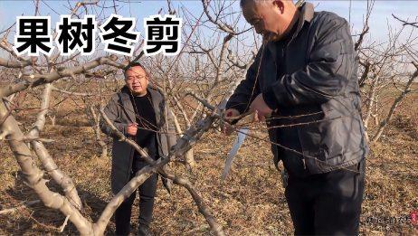 技术员现场冬剪桃树,修枝技巧是关键,又稳又快又准,欣赏下
