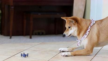 主人拿无人机恶搞柴犬,狗子的表情让人发笑,简直太喜剧了!