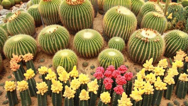 观赏性办公室植物:仙人球的生长习性,分布区域和常见品种!