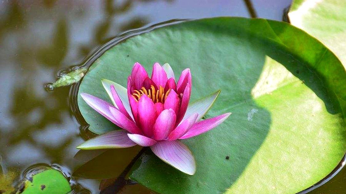 想要夏天有睡莲赏,那么先要学会怎么种,养好了花开一大缸!